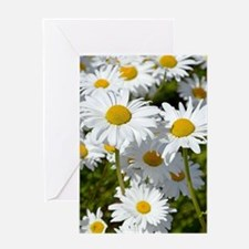 White spring daisies Greeting Cards