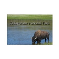 Wild American Buffalo in Yellowstone National Park