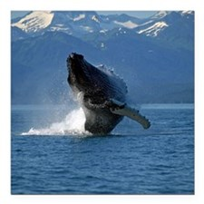 "Humpback Whale Breaching Square Car Magnet 3"" x 3"""