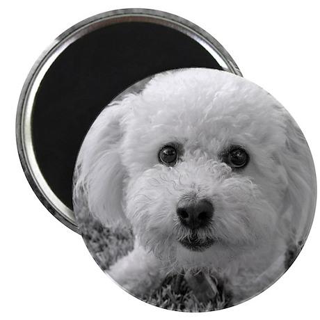 """Playful Bichon"" 2.25"" Magnet (10 pack)"