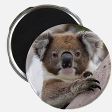 Precious Baby Koala in Eucalyptus Gum Tree Magnets