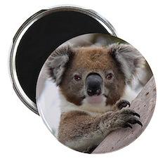 Precious Baby Koala in Eucalyptus Gum Tree Magnets