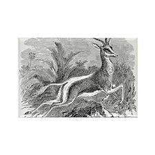 Vintage Antelope Illustration - 1800s Gazelle Magn