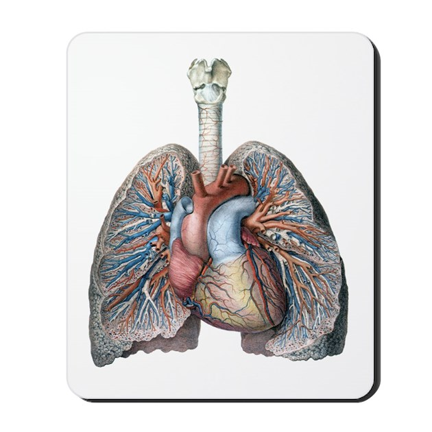 Mouse lung anatomy