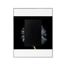 Cool Dandelion seeds blowing in the wind Picture Frame