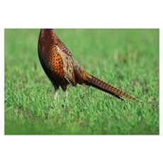Ring-necked Pheasant, Phasianus colchicus, male, N Canvas Art