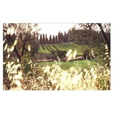 Italy, Tuscany, vineyards and Cypress tree line Poster