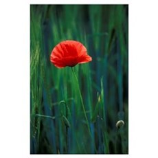 Europe, Italy, Umbria, Perugia. Poppy flower. Poster
