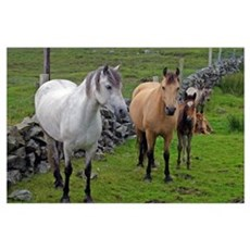 Ireland. Farm horses of the Connemara in Ireland. Poster