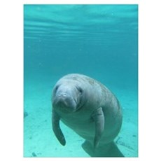 Seacow or Manatee Swimming Undereater in Crystal Poster
