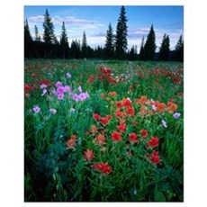 UTAH. Paintbrush & geraniums in meadow near Tony G Framed Print