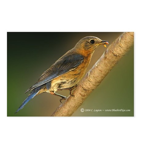 Bluebird With Dinner Postcards (Package of 8)