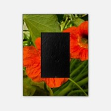 Two Nasturtiums Picture Frame