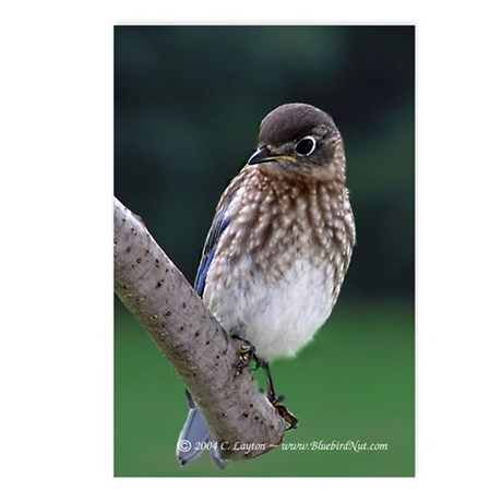 Fledgling Bluebird Postcards (Package of 8)