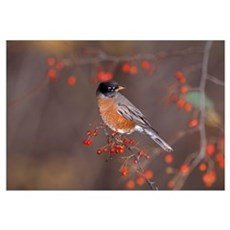 American Robin In Crab Apple Tree Poster
