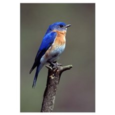 Eastern Bluebird Canvas Art