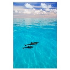 Atlantic Spotted Dolphins Poster