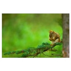 Red Squirrel On A Tree Branch Poster