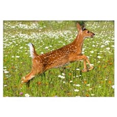 White Tailed Deer Fawn In Field Of Spring Flowers Poster