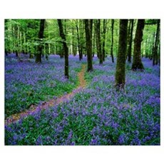 Bluebell Wood, Near Boyle, County Roscommon, Irela Canvas Art
