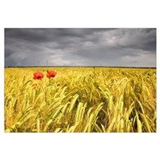 Two Red Poppies In Wheat Field Canvas Art