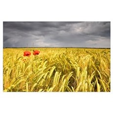 Two Red Poppies In Wheat Field Poster
