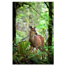 White-Tailed Deer Peering Out Of The Woods Poster