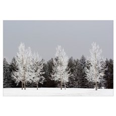 Frost On Trees, Calgary, Alberta, Canada Framed Print