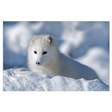 Arctic Fox Exploring Fresh Snow; Alaska Poster