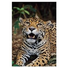 Jaguar (Panthera Onca); Belize