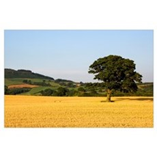 Tree In A Golden Field Of Grain, North Yorkshire,  Poster