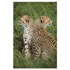 Young Cheetahs In Grassland Habitat, Africa Poster