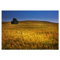 A Tree In A Wheat Field, Alberta, Canada Framed Print