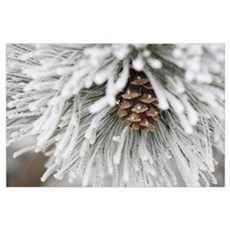 Frost Covered Pine Needles And A Pine Cone, Calgar Poster