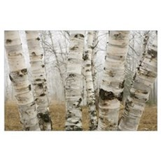 Birch Trees In The Fog In Early Spring, Ontario, C Poster