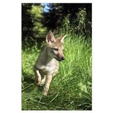 Captive Coyote Pup Running In The Grass; Kalispell Poster