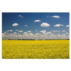 Flowering Canola Field With Clouds Overhead; Alber Framed Print