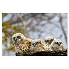 Four Great Horned Owl Chicks; Edmonton, Alberta, C Poster