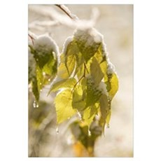 Green Leaves Covered With Snow And Ice; Thunder Ba Framed Print