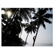 Silhouetted Man Climbing A Palm Tree To Pick Cocon Poster