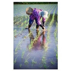 Local Planting Rice By Hand; Japan Poster