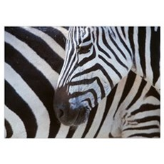 Zebras Face And Mid Body, Close Up; Tanzania Poster