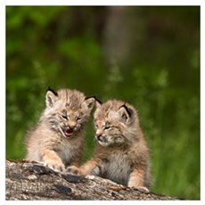 Two Canada Lynx Kittens Playing On A Log; Canmore, Poster