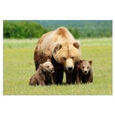 A Brown Grizzly Bear With Cubs; Alaska, United Sta Framed Print