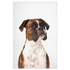 Portrait Of Boxer Dog On White Background Poster