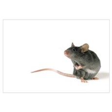 Mouse Standing On Hind Legs, White Background Poster