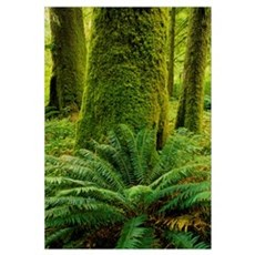 Forest Trees, Carmanagh Walbran Provincial Park, B Poster