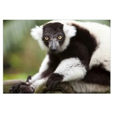 A Black-And-White Ruffed Lemur At The Singapore Zo Framed Print