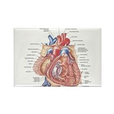 Heart anatomy Magnets
