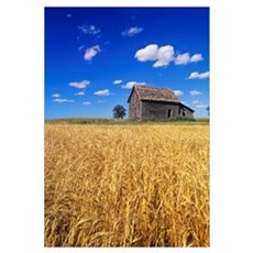 Old House And Mature Winter Wheat Field, Winnipeg, Poster